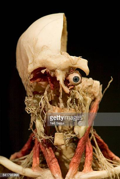 """Skeleton with vascular track on exhibit at the American premiere of """"Body Worlds: The Anantomical Exhibition of Real Human Bodies"""" at the California..."""