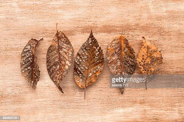 skeletonized leaves with dutch elm disease - dutch elm disease stock pictures, royalty-free photos & images