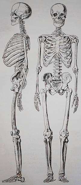 Skelett eines Menschen Pictures | Getty Images