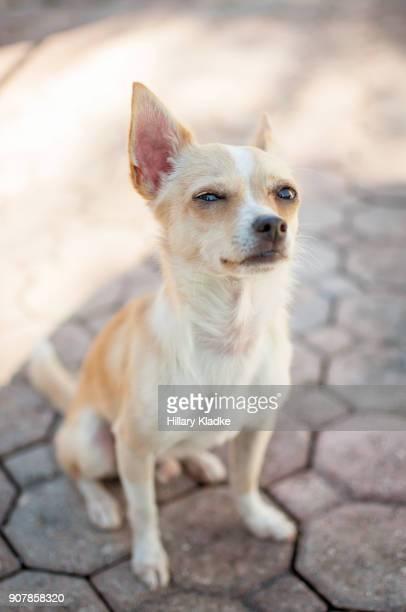 Skeptical Chihuahua sitting