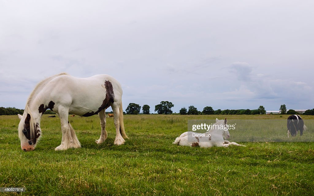 Skewbald horses grazing, Figham, Beverley, Yorkshire, UK. : Stock Photo