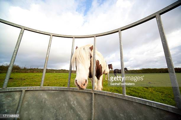 skewbald pony at hay feeder