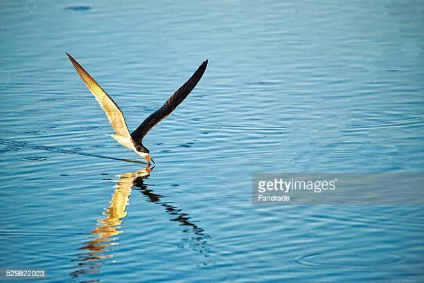 Skimmer Sea Bird Pantanal Brazil