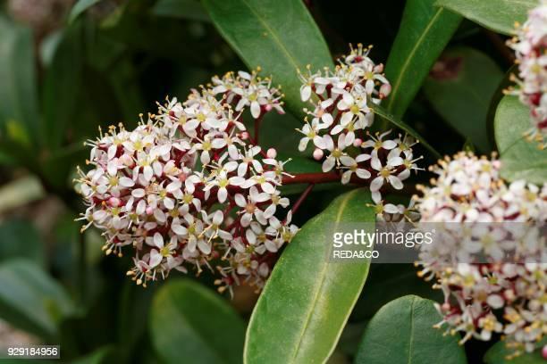Skimmia japonica. Flowers.