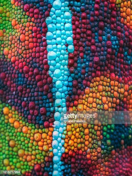 skin detail chameleon, reserve peyrieras, madagascar - camaleón fotografías e imágenes de stock