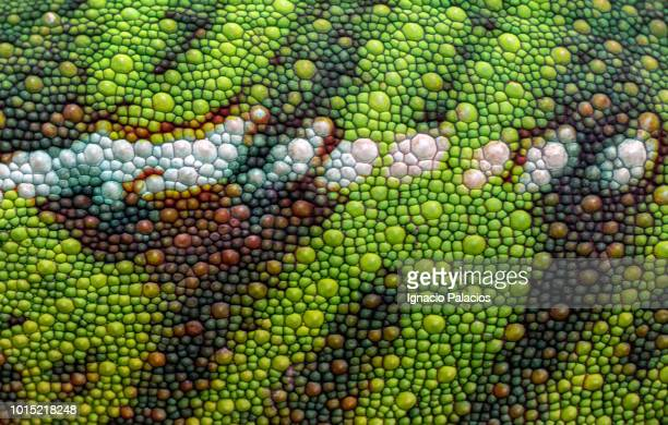 skin detail chameleon, reserve peyrieras, madagascar - extreme close up stockfoto's en -beelden