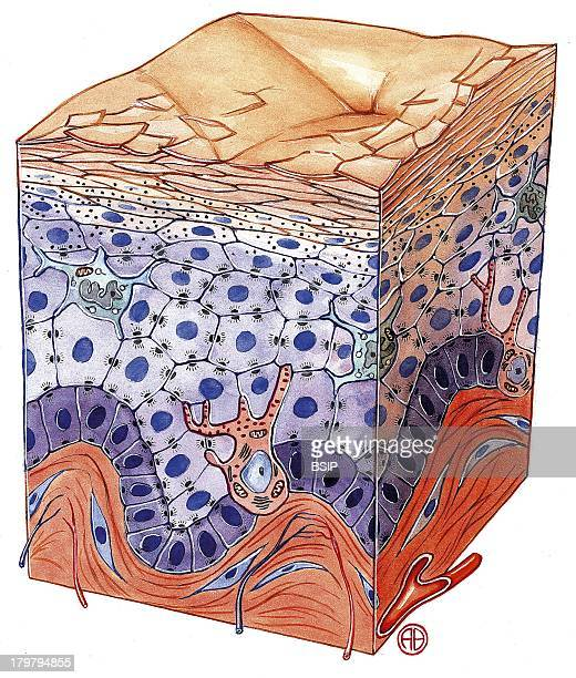 Skin Illustration Layer Of Keratinocytes Are Langerhans Cells Involved In The Immune Defense The Pink Structures Inserted In The Layer Of Basal Cells...