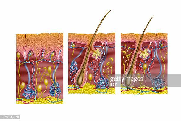 Skin Illustration Skin Of The Palm Of The Hand Or The Sole Of The Foot Skin Of The Armpit Or Pubis Skin Of The Rest Of The Body
