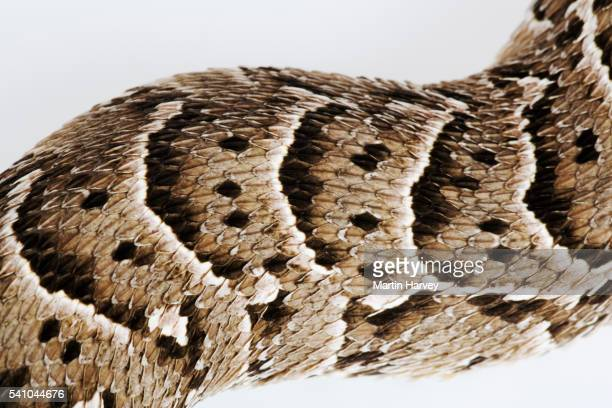 Skin of a Puff Adder