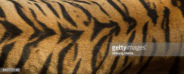 Skin of a Royal Bengal Tiger