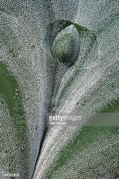 Skin of bishop's cap cactus Astrophytum myriostigma Synonyms include Echinocactus myriostigma and Astrophytum prismaticum Native to northeastern and...