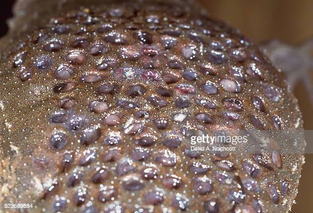 skin of surinam toad with eggs - sapo do suriname imagens e fotografias de stock