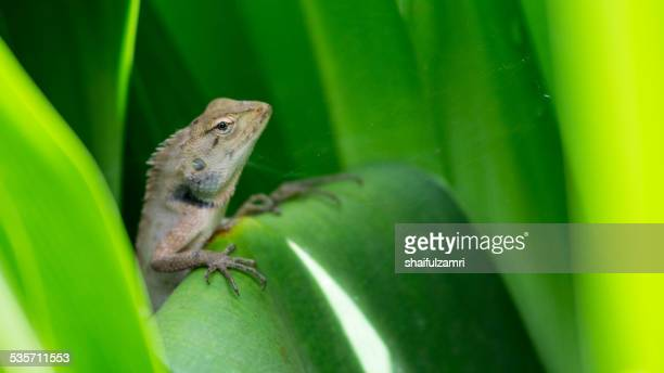 skink - shaifulzamri stock pictures, royalty-free photos & images