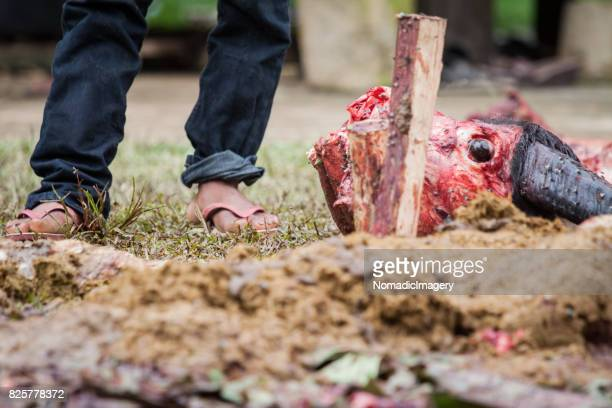 skinned water buffalo head at animal sacrifice ceremony - animal body part stock pictures, royalty-free photos & images
