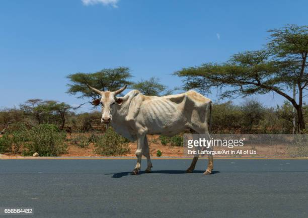 Skiny cow suffering from the drought on the road Oromia Yabelo Ethiopia on March 5 2017 in Yabelo Ethiopia