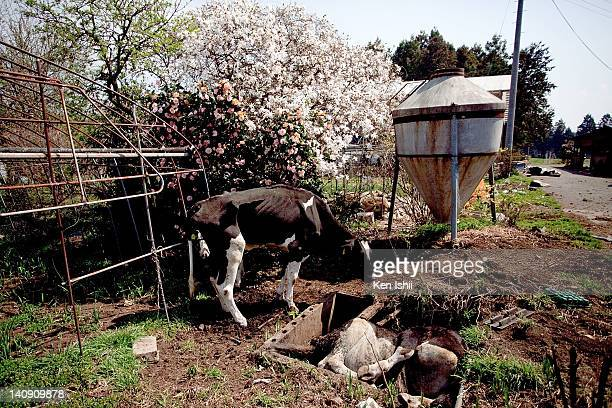 A skiny cow watches a dead cow lying on the creek at a farm inside the 20km exclusion zone of the troubled Fukushima Daiichi Nuclear Power Plant on...