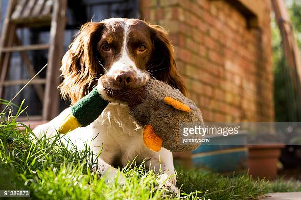 skip & duck... - spaniel stock pictures, royalty-free photos & images