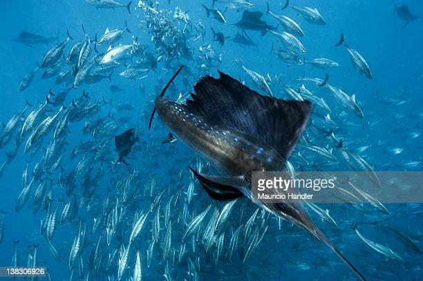 Skipjack tuna attack sardines upon which sailfish had been feeding.