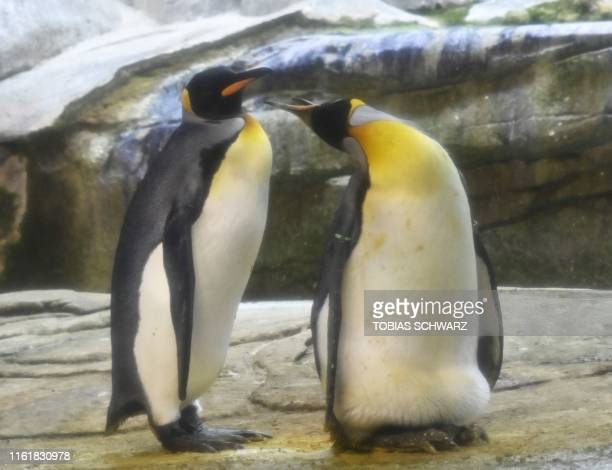 Skipper , a male breeding King Penguin , and his male partner Ping are pictured taking care of an egg of another couple, given to them by zoo keepers...