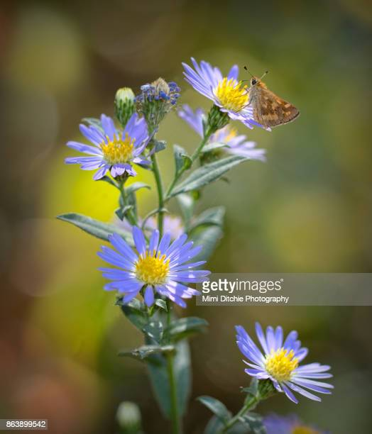 Skipper and Aster Flowers