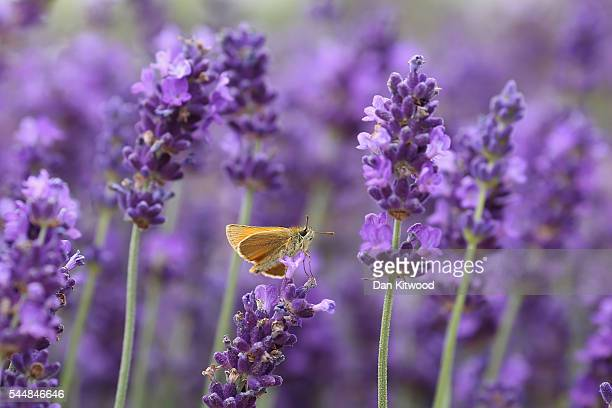 Skipper butterfly polinates Lavender during the press preview day of the Hampton Court Palace Flower Show on on July 4 2016 in London England The...
