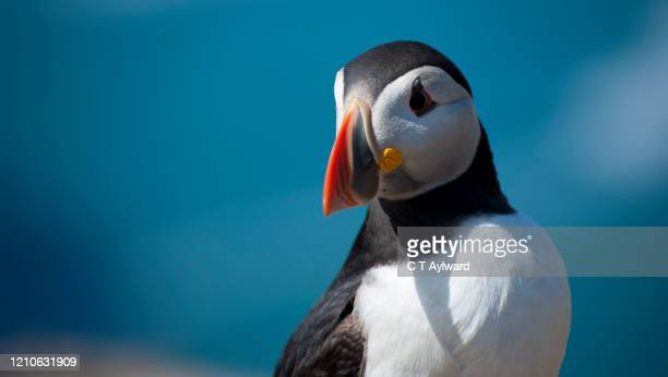 skomer island & pembrokeshire puffins - multi coloured stock pictures, royalty-free photos & images