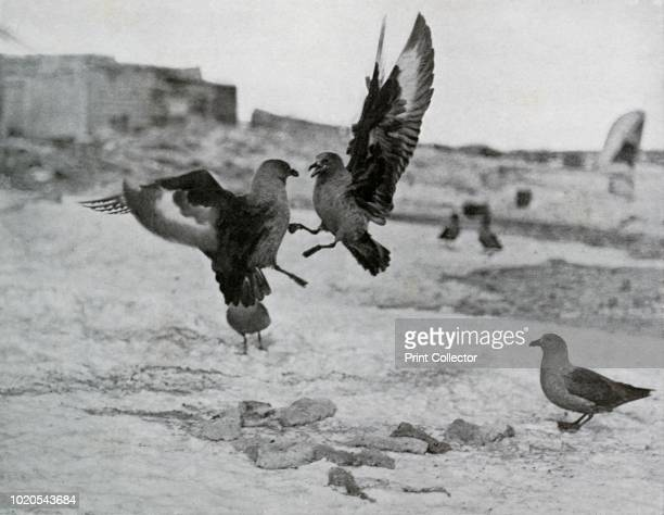Skua Gulls Fighting Over Some Blubber' Skuas at Cape Adare The final expedition of British Antarctic explorer Captain Robert Falcon Scott left London...