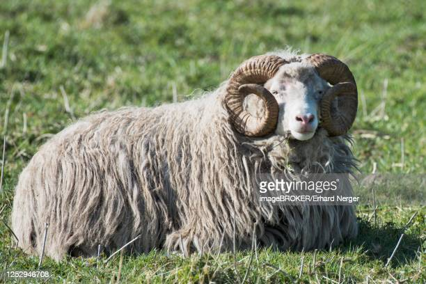 skudde (ovis orientalis aries), emsland, lower saxony, germany - skudde stock pictures, royalty-free photos & images