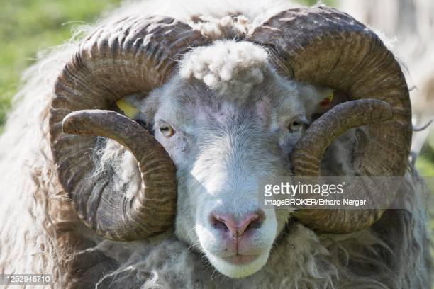 skudde (ovis orientalis aries), portrait, emsland, lower saxony, germany - skudde stock pictures, royalty-free photos & images