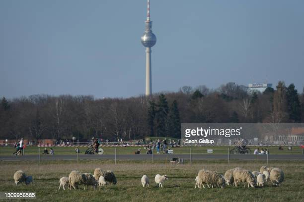 Skudde sheep graze at Tempelhofer Feld, the public park that was once Tempelhof Airport, as the broadcast tower at Alexanderplatz stands behind on...