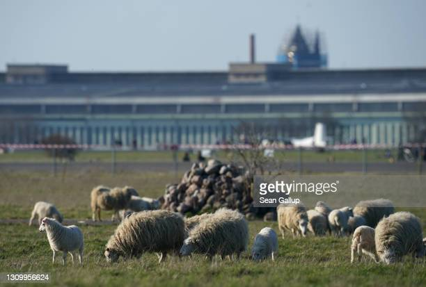 Skudde sheep graze at Tempelhofer Feld, the public park that was once Tempelhof Airport, on the first day the sheep returned this year on March 30,...