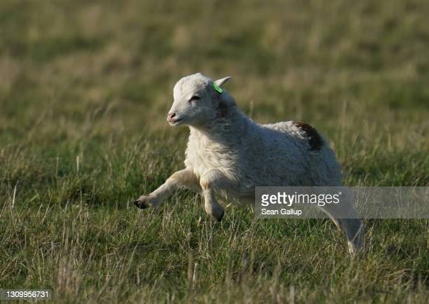 Skudde sheep lamb runs to join its flock while grazing at Tempelhofer Feld, the public park that was once Tempelhof Airport, on the first day the...