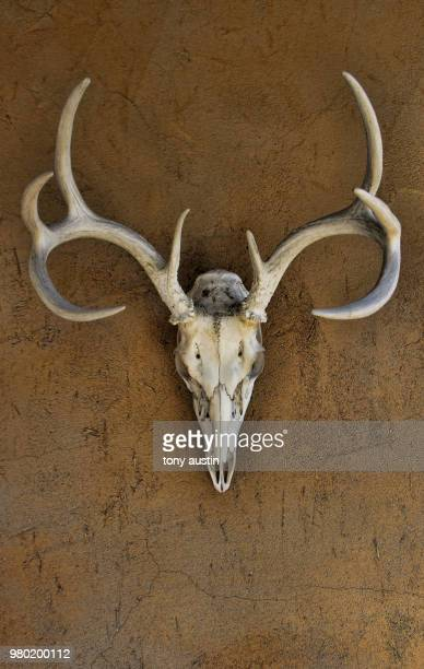 Skull and antlers of deer, New Mexico, USA