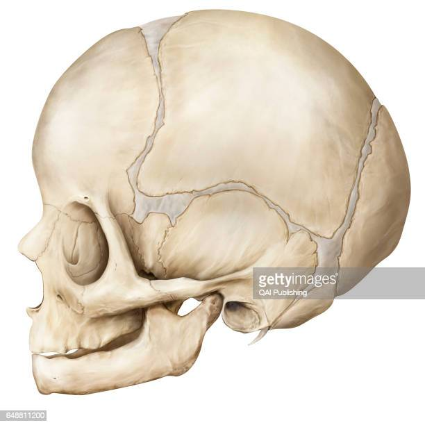 Skull Bony structure formed of eight bones covering and protecting the brain This one is still a child