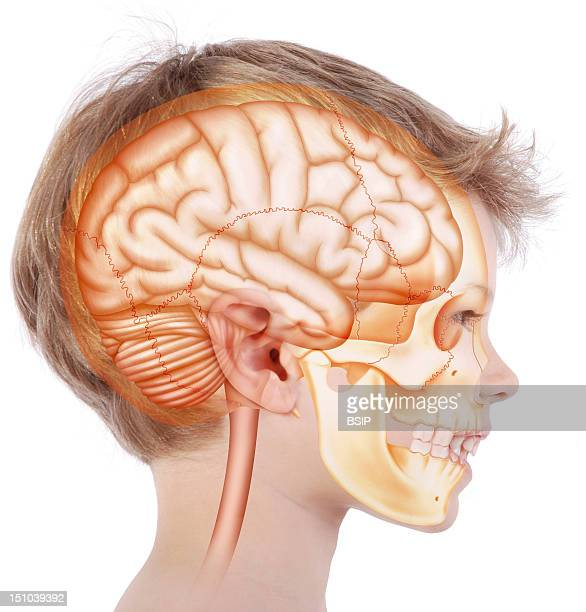 Skull In A 6 Year Old Child Representation In The Face Of A 6 Year Old Child In Profile View Of The Skull In Oranged Yellow Inside Which Is Located...