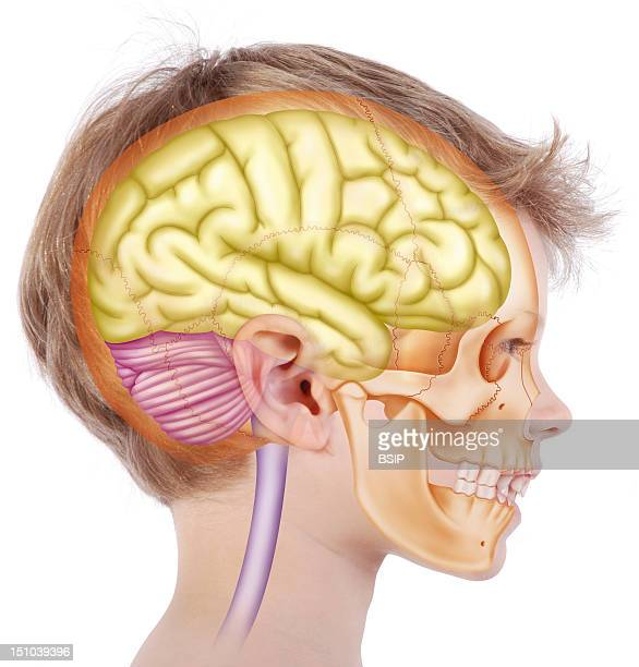 Skull In A 6 Year Old Child Representation In The Face Of A 6 Year Old Child In Profile View Of The Skull In Beige Inside Which Is Located The Brain...