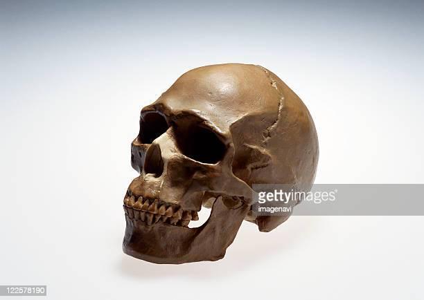 skull model - homo sapiens foto e immagini stock