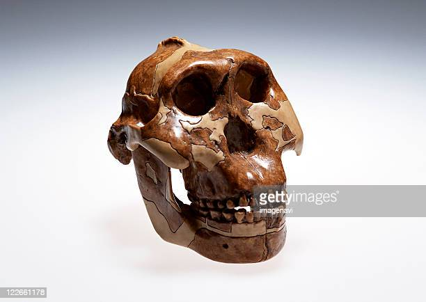 skull model - australopithecus stock pictures, royalty-free photos & images