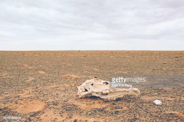 Skull of a Bactrian camel on the Gobi desert in Mongolia.