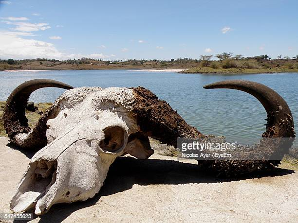Skull Of African Buffalo By Lake