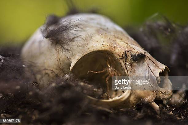 Skull of dead cat surrounded by fur with a spider living in an eye socket 4th September 2008 Lagrasse France