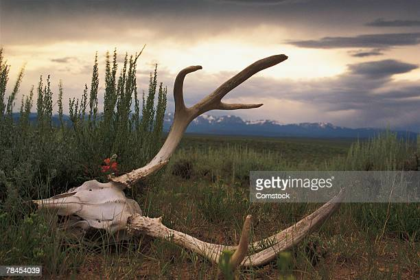 Skull of elk on the prairie