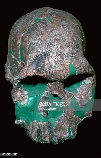 Skull of Homo Habilis from Koobi Fora in Kenya