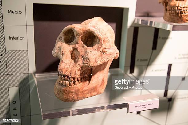 Skull of Paranthropus Boisel archaeology museum Jerez de la Frontera Cadiz Province Spain