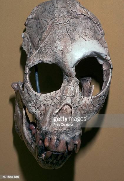 Skull of Proconsulus Africanus from Rusinga Island Lake Victoria Kenya