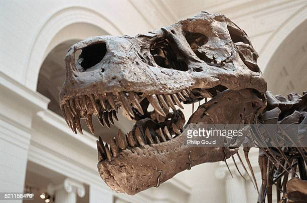 "skull of ""sue"" - field museum of natural history stock pictures, royalty-free photos & images"