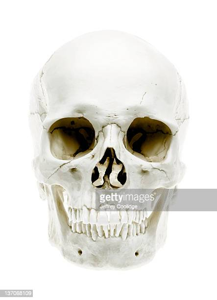 skull on white - human skull stock pictures, royalty-free photos & images