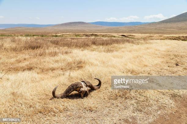 skull with horns of african buffalo in meadow at ngorongoro conservation area - tod stock-fotos und bilder