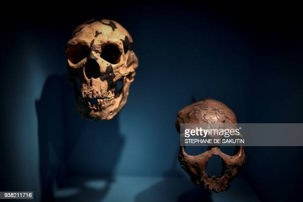 Skulls are displayed as part of the Neanderthal exhibition at the Musee de l'Homme in Paris on March 26, 2018. / AFP PHOTO / STEPHANE DE SAKUTIN