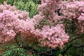Skumpiya tanning, Cotinus coggygria or Smoke tree
